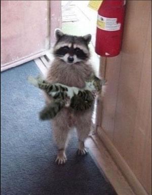 raccoon holding cat