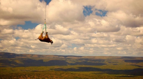 Flying rhino black rhino relocation green renaissance